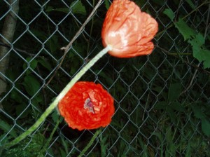 Poppies from Kate?