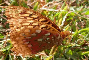Butterfly--Double Wings and Silver-Blue Spots