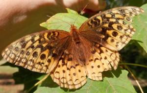 Butterfly--Spread
