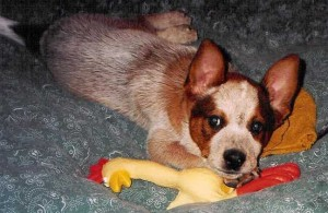 Puppy Bandit & Rubber Chicken
