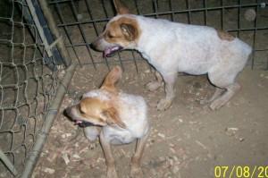 heeler pups in TN - 2007